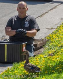 5-'18: Ducklings stuck in storm drain