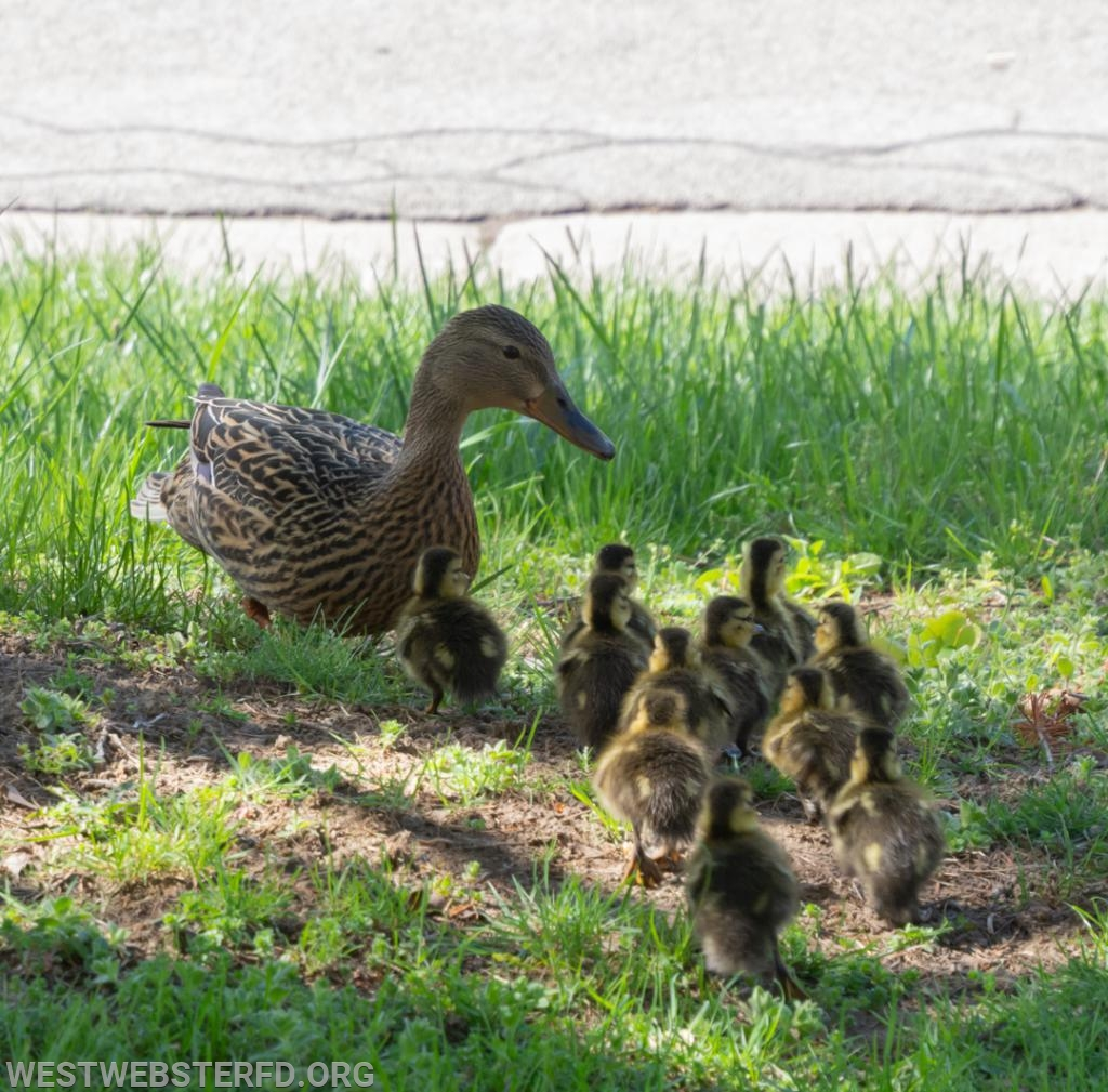 5-'18: Ducklings stuck in storm drain
